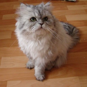 800px-Doll_face_silver_Persian
